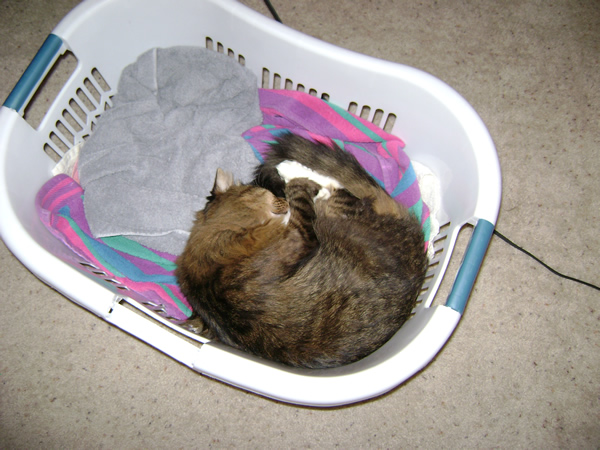 Emeril napping in the laundry basket